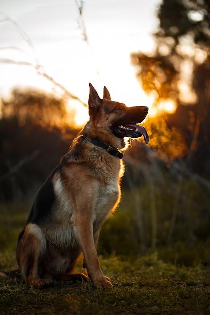 Silhouette de berger allemand à la lumière dorée Photo Premium