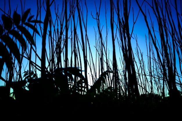 Silhouette D'étroits Troncs D'arbres Au Coucher Du Soleil Avec Un Ciel Bleu Intense. Photo Premium