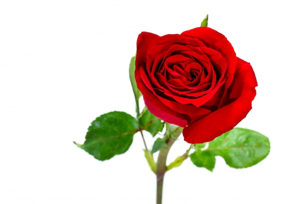 Simple simple de rose rouge, concept de la saint-valentin Photo Premium