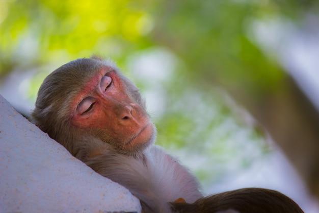 Singe dormant sous l'arbre Photo Premium