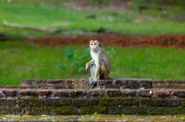 Singe du sri lanka assis sur des ruines. Photo Premium