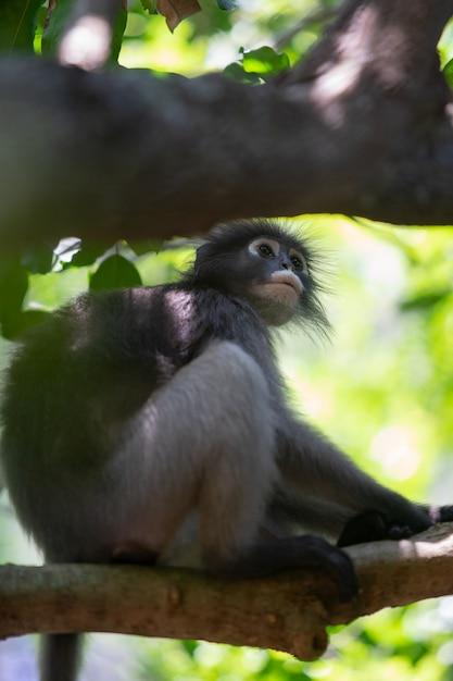 Singe de langur sombre assis sur une branche d'arbre dans la forêt. Photo Premium