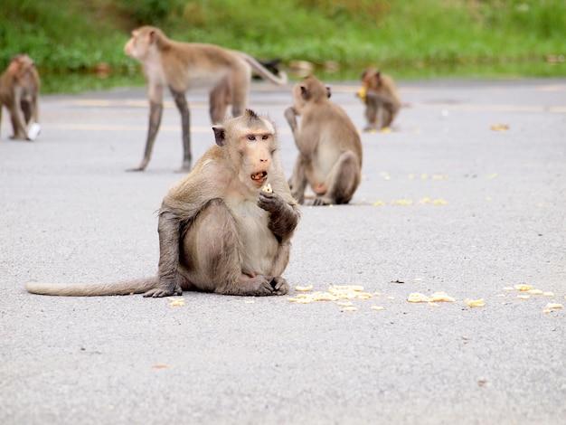 Singes sauvages mangeant de la nourriture des gens Photo Premium