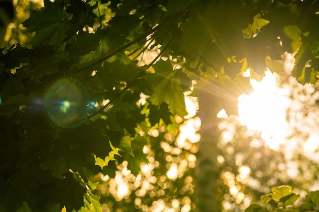Le soleil a traversé les feuilles des arbres. beau soleil nature verdoyant. Photo Premium