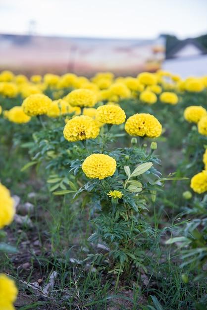 Souci dans le jardin de la thaïlande, fleur jaune. Photo Premium