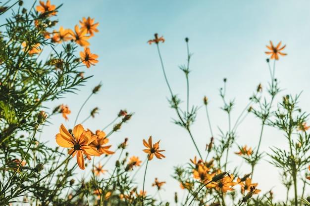 Soufre jaune cosmos en fleurs dans le jardin de la nature avec un ciel bleu avec un style vintage. Photo Premium