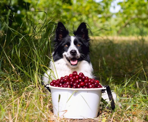 Sourire de race chien border collie couché sur l'herbe près d'un seau de cerises. Photo Premium