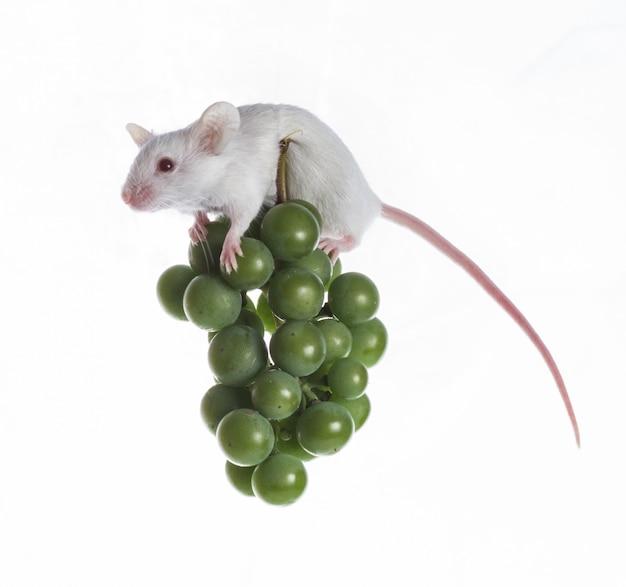 Souris blanche sur la grappe de raisin vert sur fond blanc Photo Premium