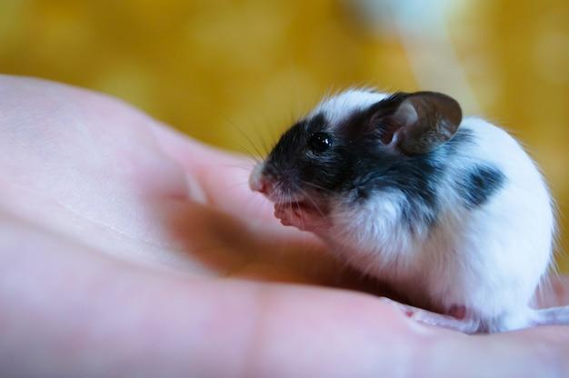 La souris est assise sur une paume et lave. Photo Premium
