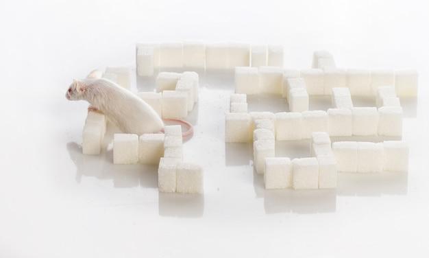 Souris de laboratoire blanche dans un labyrinthe de morceaux de sucre, concept de diabète Photo Premium
