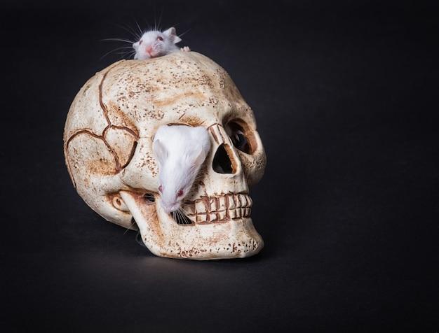 Une souris de laboratoire blanche sort de l'orbite d'un crâne en plastique Photo Premium