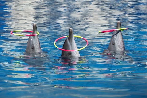 Spectacle de dauphins, jouer aux cerceaux dans la piscine. Photo Premium