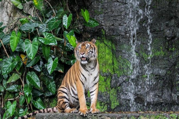 Spectacle de tigre marchant devant la mini cascade Photo Premium