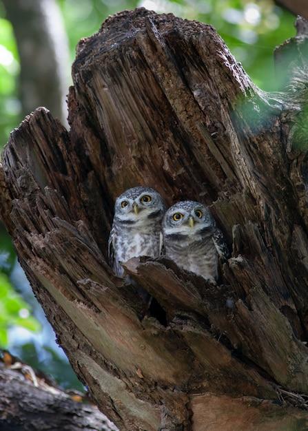 Spot owlet dans le bois creux Photo Premium