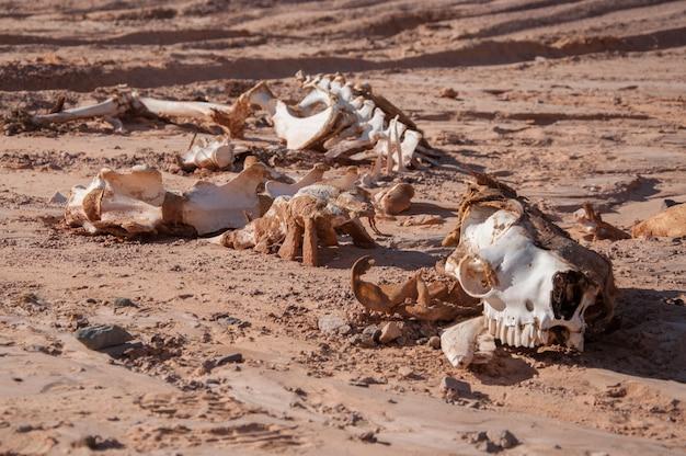 Squelette d'un chameau dans le désert. Photo Premium