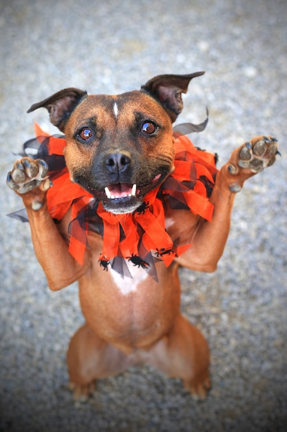 Staffordshire Bull Terrier Mignon Photo Premium