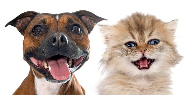 Stafforshire bull terrier et chaton persan Photo Premium