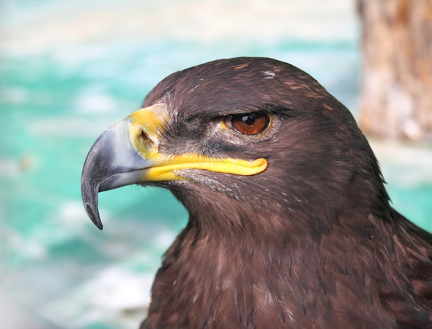 Steppe tawny eagle closeup Photo Premium