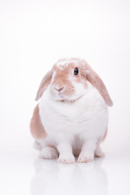 Studio photos d'un lapin rouge Photo Premium