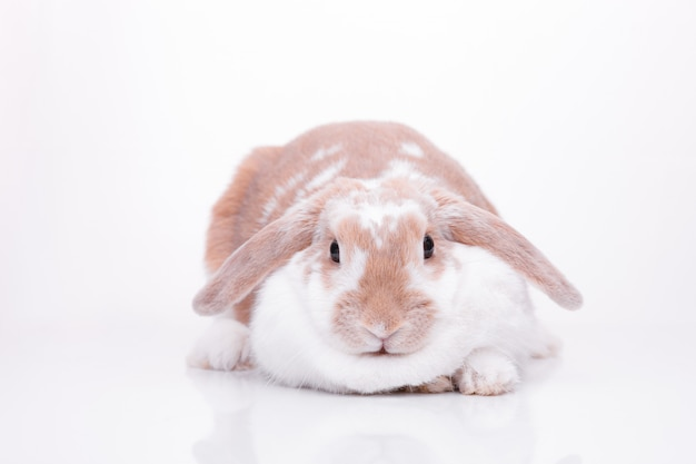 Studio photos d'un lapin rouge Photo Premium