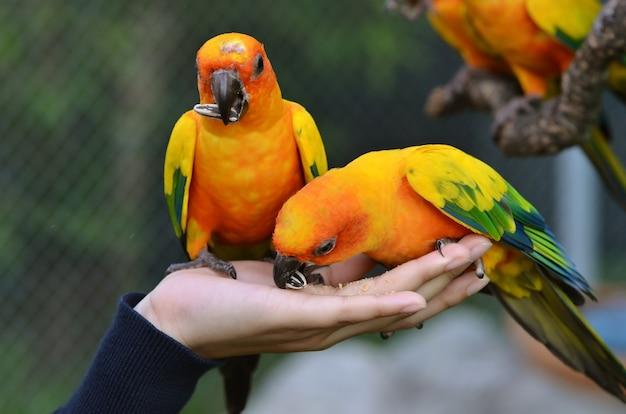 Sun conure parrot sur une branche d'arbre Photo Premium