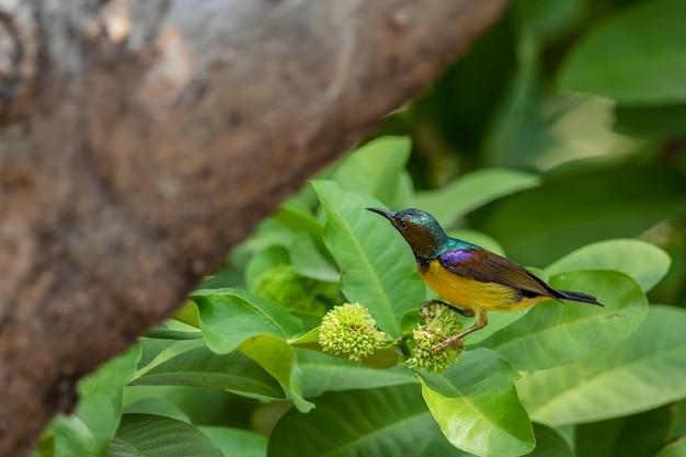 Sunbird à gorge brune colorée sur l'arbre de fleurs dans le jardin Photo Premium
