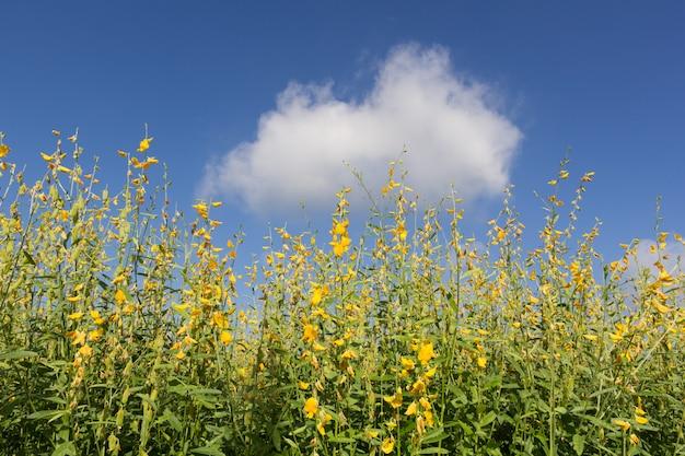 Sunn chanvre (crotalaria) fleur Photo Premium