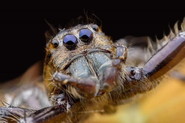 Super macro male hyllus diardi ou araignée sauteuse Photo Premium