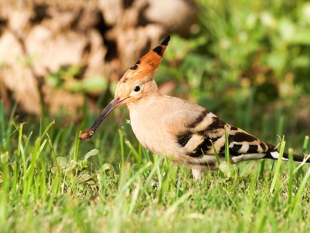 Superbe Huppe Eurasienne (upupa Epops) - Se Nourrissant D'insectes Photo Premium