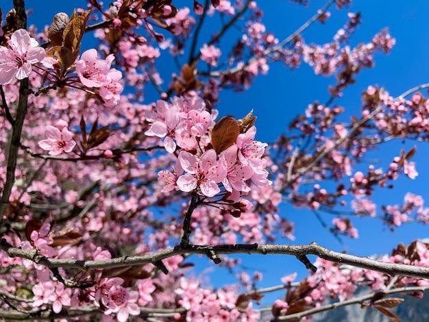 Superbes fleurs de sakura ou de cerisiers roses épanouies au printemps avec un ciel bleu. Photo Premium