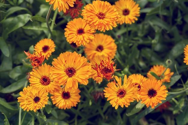 Surface D'été Avec Des Fleurs De Calendula En Croissance ...