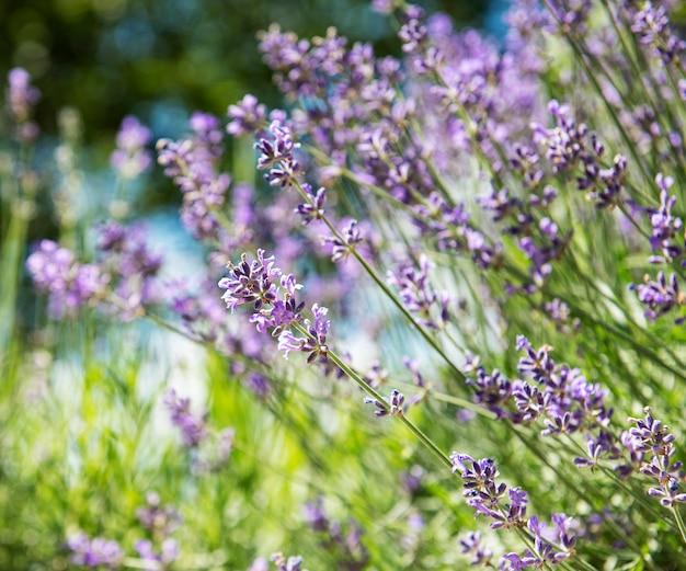 Surface De La Fleur Naturelle, Vue Sur La Nature Des Fleurs De Lavande Violette Qui Fleurissent Dans Le Jardin. Photo Premium