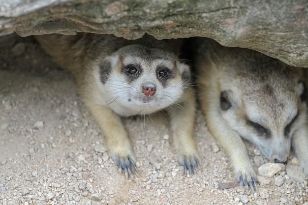 Suricata Suricatta Ou Meerkat Dorment Dans Une Grotte Photo Premium