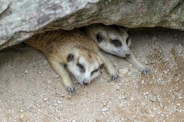 Les Suricata Suricatta Ou Suricates Dorment Dans Une Grotte Photo Premium