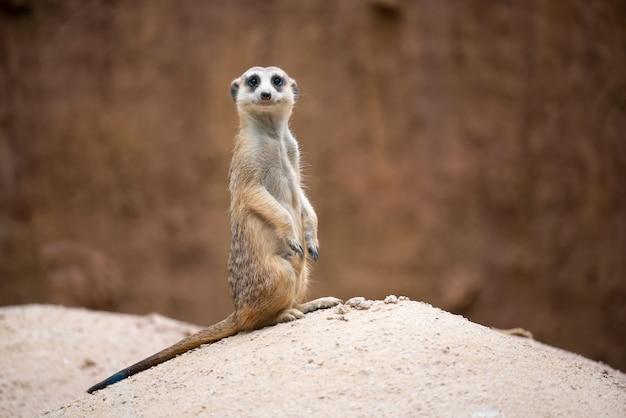 Suricate (suricata suricatta) Photo Premium