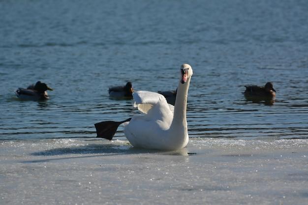 Swan Assis Sur La Glace Près De La Rivière Photo gratuit