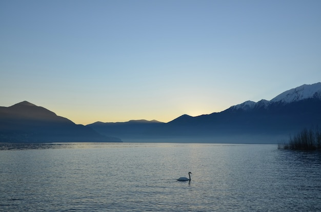Swan Nager Dans Le Lac Majeur Alpin Avec Des Montagnes Au Crépuscule Au Tessin, Suisse Photo gratuit