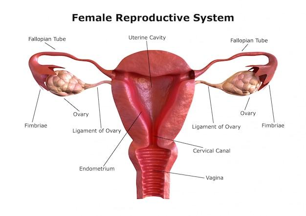 Le système de reproduction féminin Photo Premium
