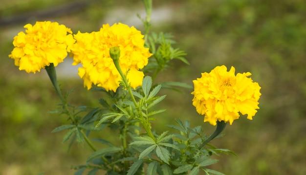 Tagete fleurs de jardin, gros plan de bourgeons jaunes sur fond flou Photo Premium