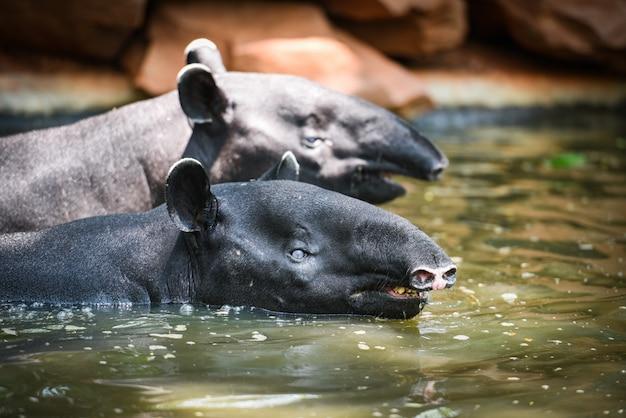 Tapir nageant sur l'eau dans la réserve faunique - tapirus terrestris ou malusis tapirus indicus Photo Premium