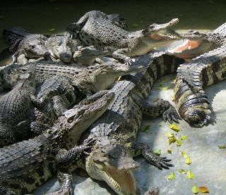 Tas de crocodiles Photo gratuit
