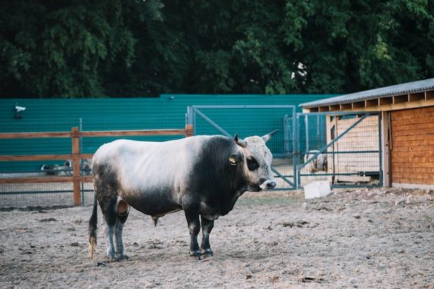 Taureau noir et blanc dans la grange Photo gratuit