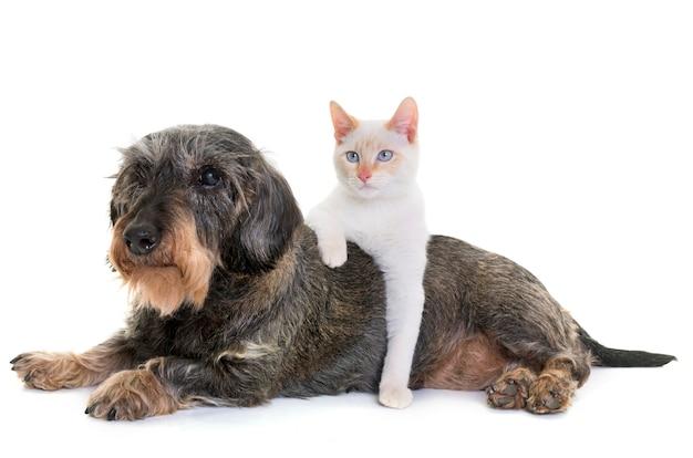 Teckel et chaton Photo Premium
