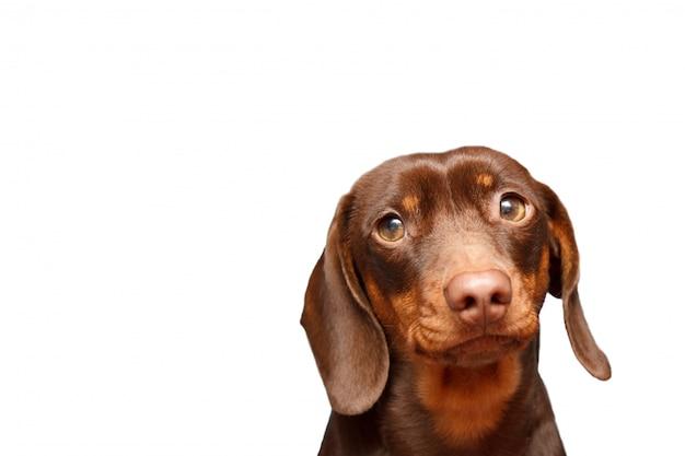 Teckel chien isolé sur fond blanc. bouchent le portrait. Photo Premium