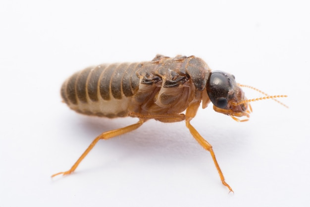 Termite volant ou alates isolé sur blanc Photo Premium