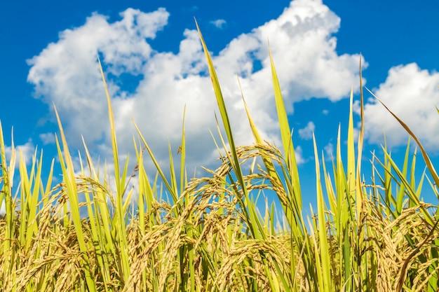 Terrain de riz paddy Photo gratuit