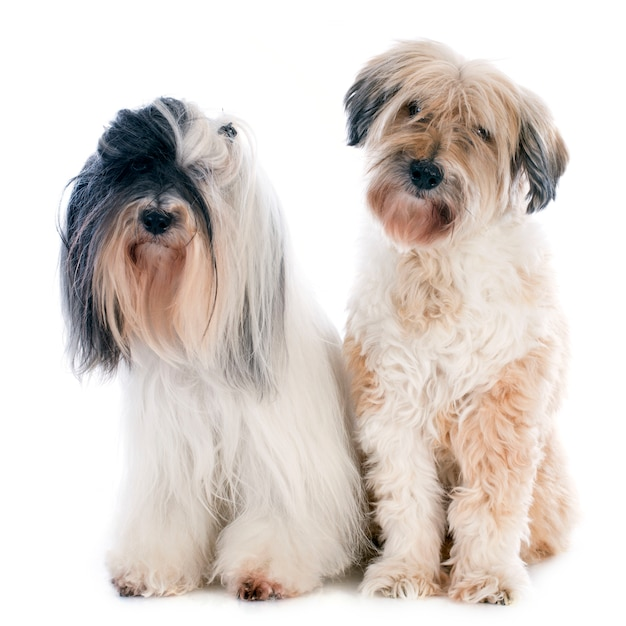 Terriers tibetains Photo Premium