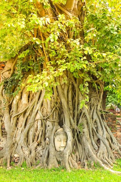 Tête de bouddha antique dans les racines des arbres au wat mahathat dans le parc historique d'ayutthaya, thaïlande. Photo Premium