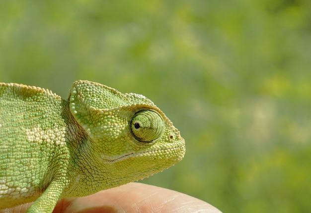 Tête de caméléon closeup sur fond vert Photo Premium