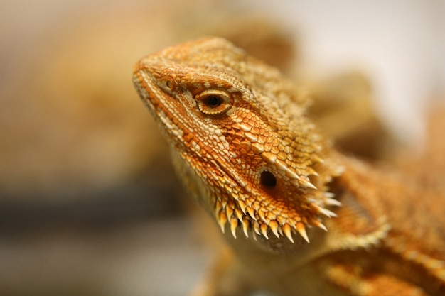 Tête de dragon barbu Photo Premium